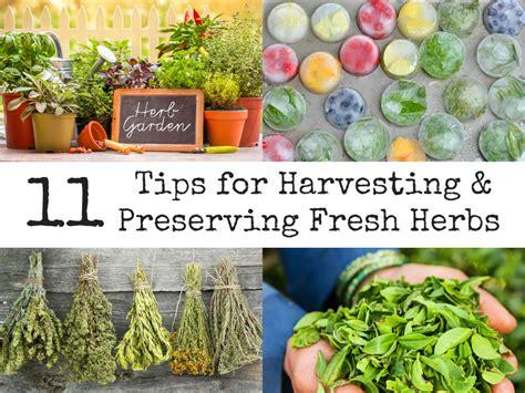 how to harvest herbs 11 tips for harvesting preserving fresh herbs
