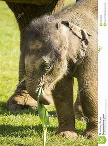 Cute Baby Indian Elephant