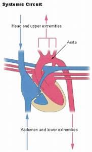 Circulatory System  U2039 Opencurriculum