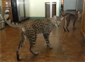 savanah cat cats wallpapers animals wiki