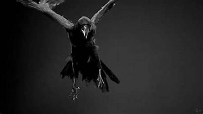 Flying Ravens Raven Bird Gifs Cool Crow