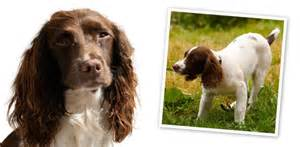 your springer spaniel breed profile breeds