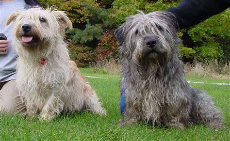 gray living glen of imaal terrier puppies rescue pictures