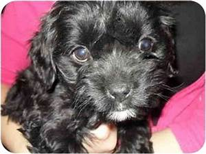 Caleb | Adopted Puppy | Lonedell, MO | Yorkie, Yorkshire ...