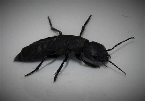 Schmaler Schwarzer Käfer Foto & Bild  Tiere, Wildlife