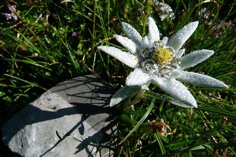 la stella alpina fiore la leggenda della stella alpina