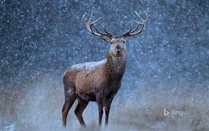 Bing Deer Screensavers Snow Animals Animal Wildlife
