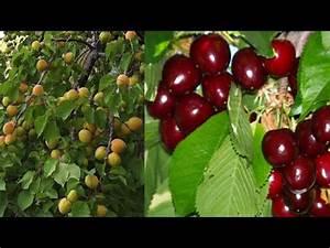 Cherry & Apricot tree fruit harvest - YouTube