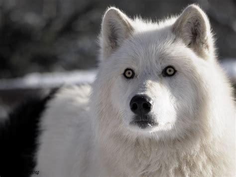 A Wolf's Growl - werewolves wolf exo baekhyun chanyeol ...
