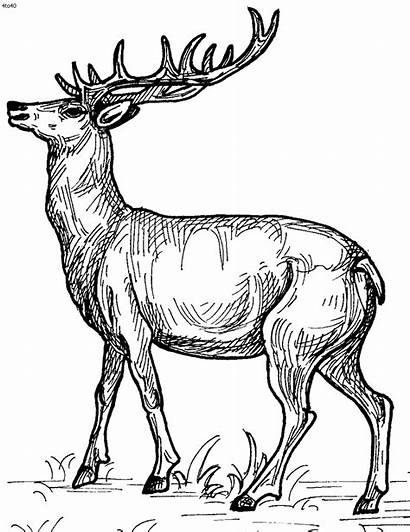 Deer Coloring Pages Printable Craft Racer Spotted