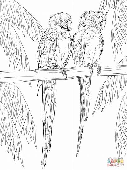 Coloring Scarlet Perch Pages Macaws Macaw Drawing