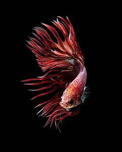 Red crowntail betta fish, siamese fighting fish on black ...