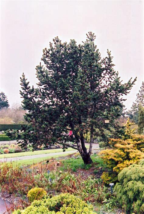 Ontario Plant Nurseries by Bristlecone Pine Pinus Aristata In Hamilton Burlington