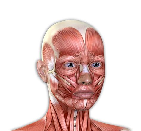 The pectoralis muscles are found on each side of your upper chest. Female Face Muscles Anatomy Stock Illustration - Illustration of angle, chest: 68430849