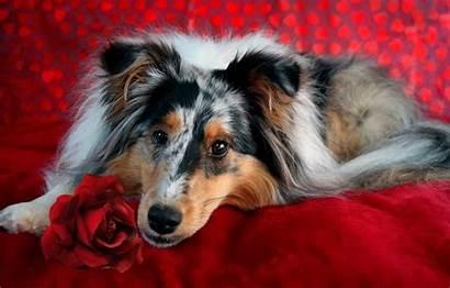 Sheepdog Dog Shetland Flowers Wallpapers Animals