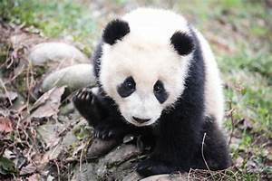 Panda preserves providing habitat for other endangered ...
