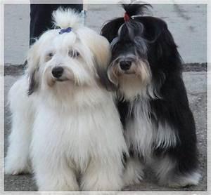 Bichon Avanese: Razza Descrizione Carattere Cuccioli