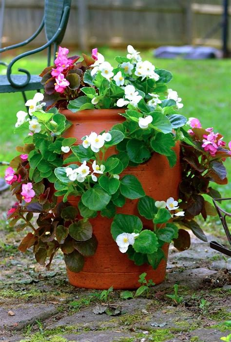 17 best images about begonias on flower and farms