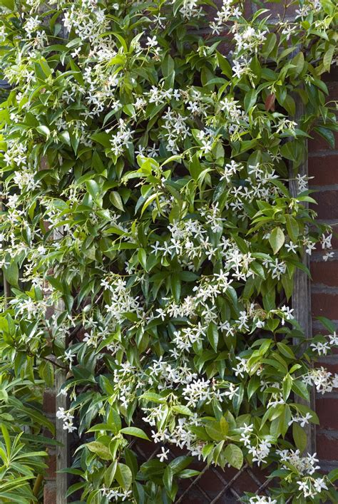 12 Fastgrowing Flowering Vines For Your Garden Garden
