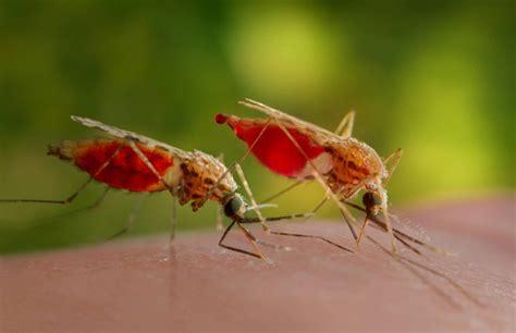 mittel gegen stechmücken bilderstrecke zu mittel gegen malaria m 252 ckensperma kann riechen bild 1 3 faz