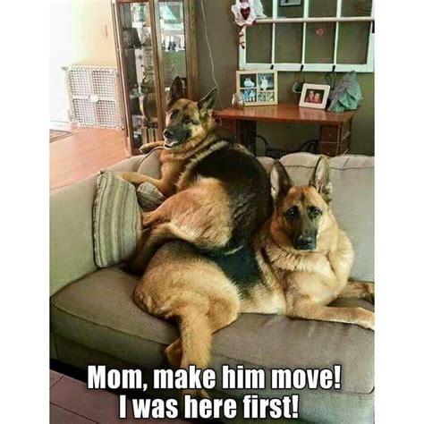 Funny German Shepherd Memes - just like my kids funny puppy memes pinterest dog german shepherds and animal