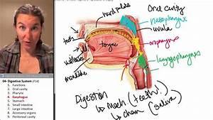 Esophagus  Digestive System   U2606 Human Anatomy Course