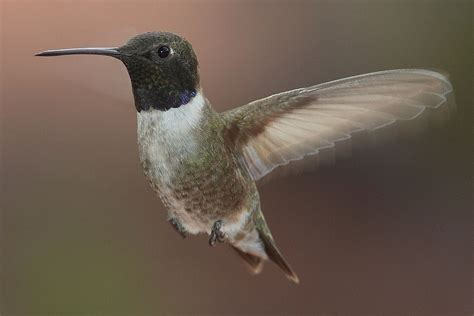 black chinned hummingbird wikipedia