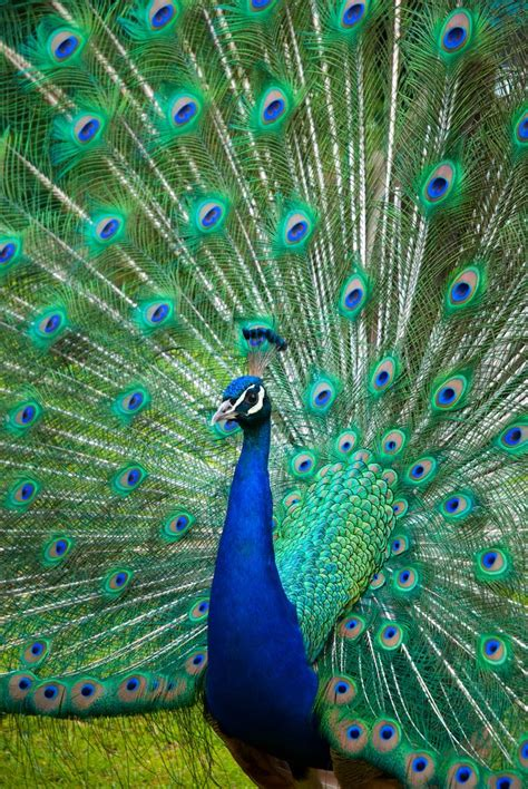 Best 25+ Peacock Pictures Ideas On Pinterest About