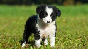 Border Collie - Information, Characteristics, Facts, Names