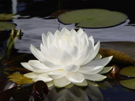 shafa yoga blog   peace   lotus flower