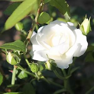 Rosier Grimpant Blanc : rosier grimpant iceberg ou f e des neiges ~ Premium-room.com Idées de Décoration