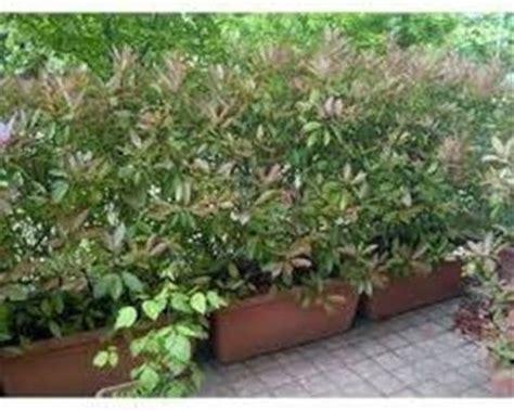 siepi in vaso piante da siepe in vaso siepi