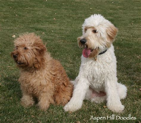 Types Of Dogs That Dont Shed by Goldendoodles