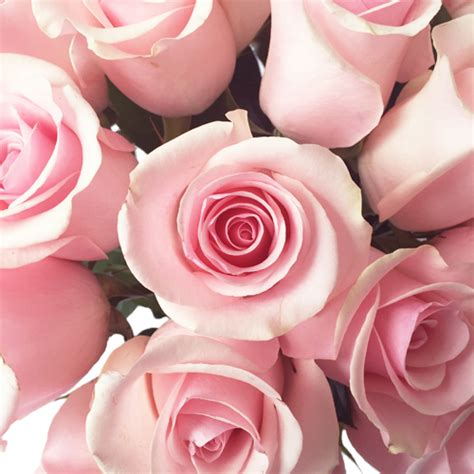 light pink roses titanic light pink