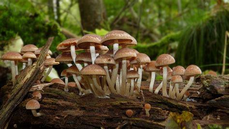 Maronen Pilze Im Garten by Braunkappen Pilze Bilder Bilder Aus Der Natur Pilze Pilz