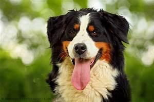 Berner Sennenhund Gewicht : max tierheim g ppingen und umgebung ~ Markanthonyermac.com Haus und Dekorationen