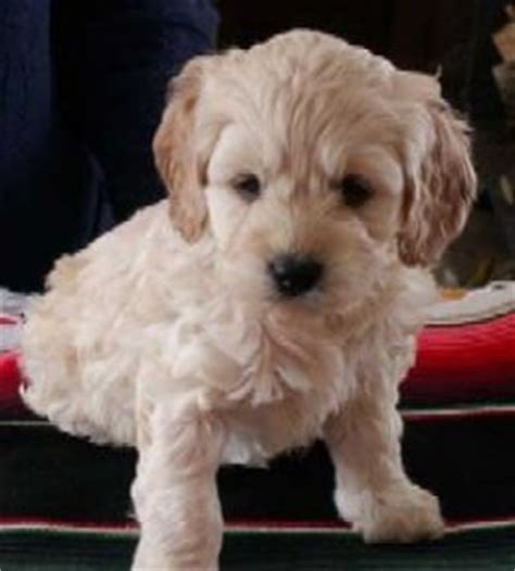 Do American Cockapoos Shed by Quite Simply Cockapoo Puppies Are A Mix Between An