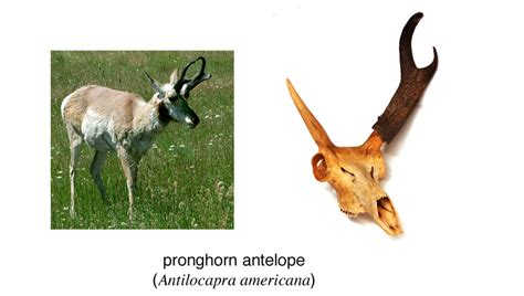 pronghorn sheds adw horns and antlers