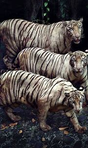 47 best Bengal & Siberian Tigers images on Pinterest