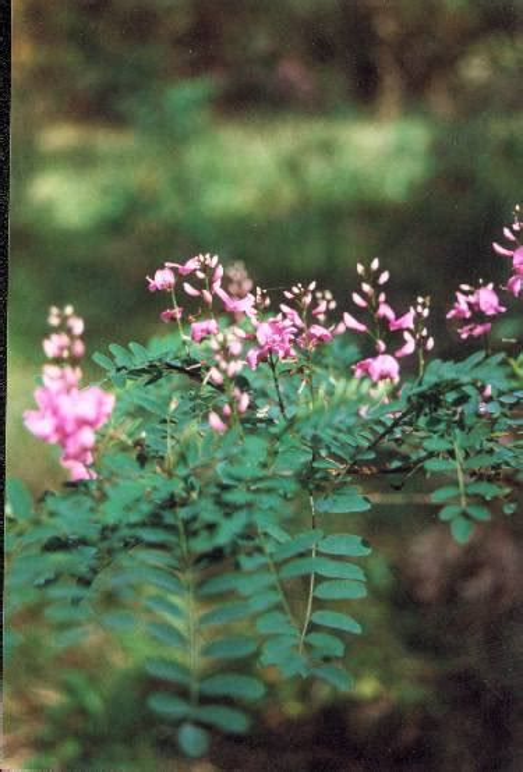 indigofera australis australian native plants plants
