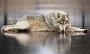 las mejores fotos de lobos imágenes de lobos