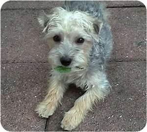 Ryder | Adopted Puppy | 11-146 | Dunedin, FL | Yorkie ...