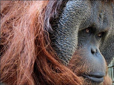 center  great apes pongo