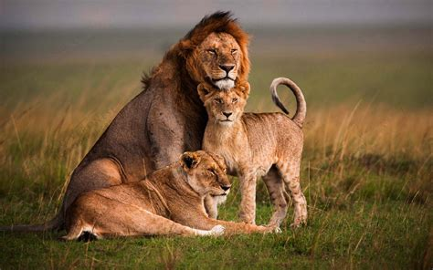 lion family  forest  latest animal photography hd
