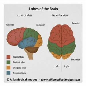 Brain Lobes  Labelled Diagram