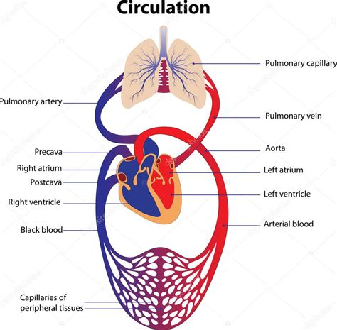 circulatory system stock vector  marynamelnyk