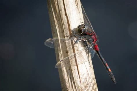 uks dragonfly nature reserve opens countryfilecom