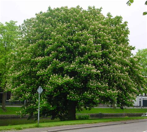 chestnut trees in horse chestnut tree pictures info on the horse chestnut trees
