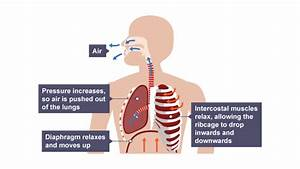 Intercostal Muscles Relax And Ribcage Drops Inwards And
