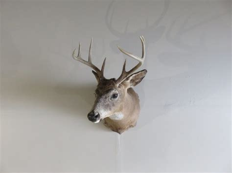 whitetail deer shoulder mount dw  mounts  sale
